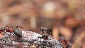 Röda wood myror, Formica- rufa, tjäna som soldat försvara deras rede i en pinjeskog i Skottland under en solig dag i April arkivfilmer