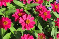 röda zinnias Royaltyfri Foto