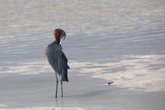 Rödaktig ägretthägerpreenng i Isla Blanca tidvattens- vatten nära Cancun Arkivfoto