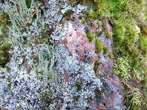 Rödaktig granit som är bevuxen med laven och mossa i en färgrik närbildtextur, bakgrund Arkivfoton