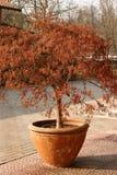rödaktig växt Royaltyfri Foto