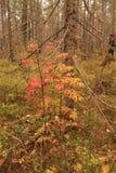 Rödaktigt ashberry Fotografering för Bildbyråer