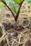 Rödbeta som växer i naturlig lantbrukträdgård Royaltyfri Fotografi