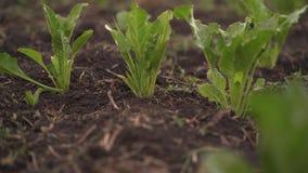 Rödbeta växer i fältet Fält med beta Växten är en beta i fältet i aftonen på solnedgången _ arkivfilmer