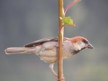 Rödbrun sparv (den kanelbruna trädsparven) Arkivbild