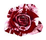 Rödbrun vitros för blomma som isoleras på vit bakgrund Närbild arkivfoton