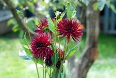 Rödbruna dahlior på en trädbakgrund royaltyfri fotografi