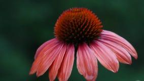 Rödbruna Echinaceablommor arkivfilmer