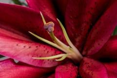 Rödbruna Lily Stamen och ståndarknappar Royaltyfri Bild