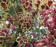 Rödbruna och gröna kulöra sidor Royaltyfria Bilder