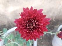 Rödbrunt Crysanthemum blommaslut upp Fotografering för Bildbyråer