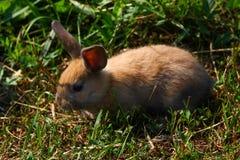 Rödhårig kanin på lantgården Rödhårig hare på gräset i natur Arkivfoto