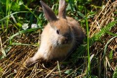 Rödhårig kanin på lantgården Rödhårig hare på gräset i natur Royaltyfria Foton