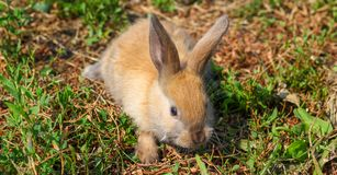 Rödhårig kanin på lantgården Rödhårig hare på gräset i natur Arkivbild