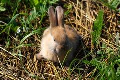 Rödhårig kanin på lantgården Rödhårig hare på gräset i natur Royaltyfria Bilder