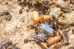 Rödhårig mandrottningmyran med vingsidor fjädrar myrstacken Arkivbild
