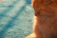 rödhåriga härliga fluffiga kattsolnedgångferier Royaltyfria Bilder