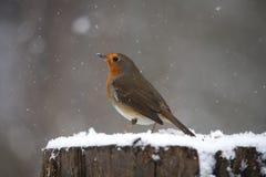 Rödhake i snö Fotografering för Bildbyråer