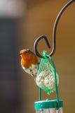 Rödhake på fågelförlagematare Fotografering för Bildbyråer