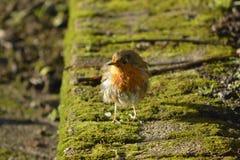 Rödhake som ser trevlig älskvärd fågel Arkivfoton