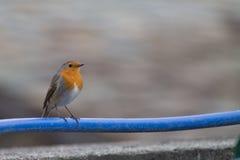 Rödhakefågel på ett blått rör fotografering för bildbyråer