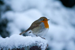 Rödhakefågel ut i snön Royaltyfri Bild