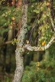 Rödhaken på trädet Royaltyfri Fotografi