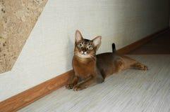 rödlätt abyssinian katt royaltyfri bild