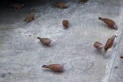 Rödlätt jordningsduva, aklejatalpacoti som äter på gatagolvet Allmänningduva på gatan som äter havre Royaltyfri Bild