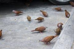 Rödlätt jordningsduva, aklejatalpacoti som äter på gatagolvet Allmänningduva på gatan som äter havre Royaltyfri Fotografi