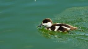 Rödlätt shelduck eller simning för stående för närbild för fågelunge för Tadornaferruginea liten i dammet, selektiv fokus, grund  fotografering för bildbyråer