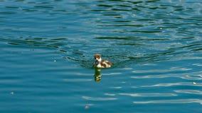 Rödlätt shelduck eller simning för stående för närbild för fågelunge för Tadornaferruginea liten i dammet, selektiv fokus, grund  arkivbilder