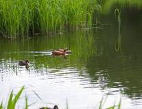 Rödlätt shelduck på dammet Royaltyfri Bild