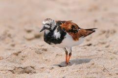 Rödlätt Turnstonefågel Royaltyfria Bilder