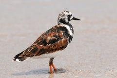 Rödlätt Turnstonefågel Fotografering för Bildbyråer