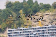 Rödlätta fåglar för shelducktadornaferruginea i flykten med appartm Royaltyfri Foto