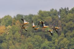 Rödlätta fåglar för shelducktadornaferruginea i flykten, skog som är blå Royaltyfri Fotografi