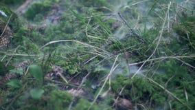 Rök som kryper över mossa bland torrt ris och kottar Mist över grön vitmossa stock video