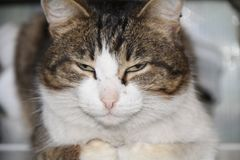 Rökiga färgspinnanden för härlig grå katt fotografering för bildbyråer