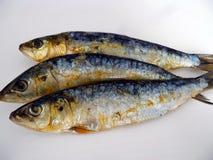 Rökte sardiner på vit bakgrund Sund färgrik skaldjur Blå fisk för att äta i sallad, mellanmål, smörgås eller stekt Stora sardiner Royaltyfria Foton
