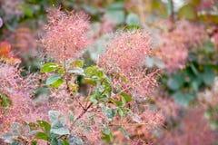 Rökträd för kungliga lilor på botaniska trädgården, Dublin arkivbilder