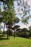 Römische Kiefern, Park, Sommerzeit, blauer Himmel, grünes Gras stockbilder