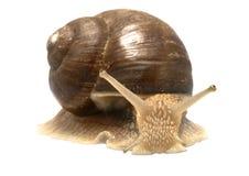 Römische Schnecke (Schneckenpomatia) Lizenzfreie Stockfotografie
