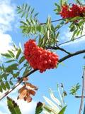 rönn berries1 Arkivfoton