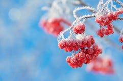 Rönn i rimfrost Arkivfoton