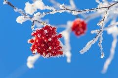 Rönn i rimfrost Arkivfoto