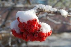 Rönn i snön Arkivbilder