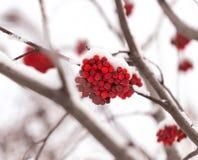Rönn i snön Royaltyfri Foto
