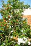 Rönn på en bakgrund av en tegelstenbyggnad Royaltyfri Foto