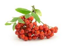 Rönn rönnbär, rönn-tree Arkivbilder